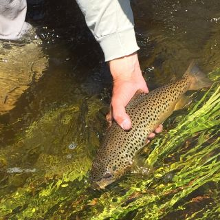 Releasing a brown trout on the upper Clark Fork River near Drummond Montana