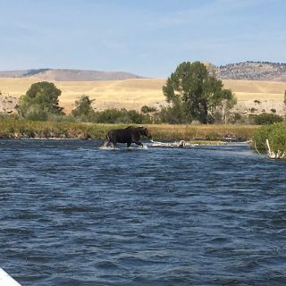 Moose crossing the Madison River on a summer float trip