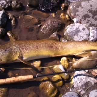 Marble trout from river Cerknica