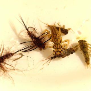 Dark brown heptagenia
