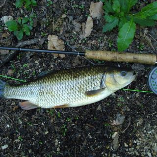 Chub from river Unica