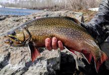 Luke Alder 's Fly-fishing Photoof a Brookies| Fly dreamers