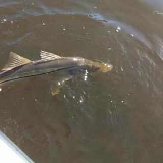 Another snook release Keep em wet