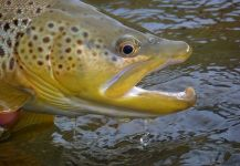 Michael Stack 's Fly-fishing Pictureof a Salmo fario| Fly dreamers