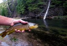 Fly-fishing Imageof European brown trout shared by Chris Watson | Fly dreamers