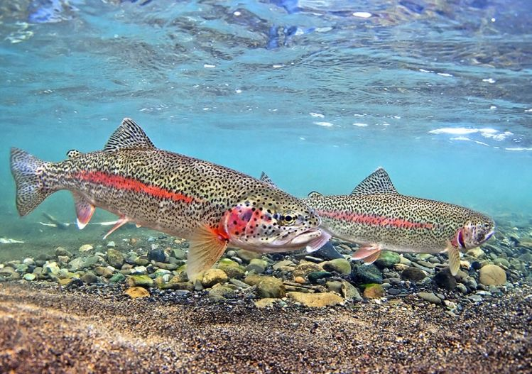 Trout Fishing Special Offer on the fabled  Alagnak River