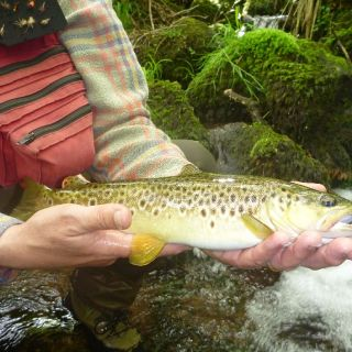 A typical basque brown trout