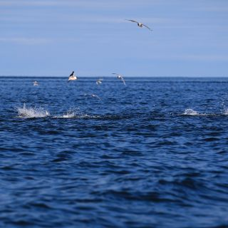 WATER BOILING, FISH SLASHING, BIRDS (INCLUDING PENGUINS) DIVING, BAIT FISH -& HOPEFULLY YOUR FLY OR LURE BEING EATEN = PURE MAYHEM