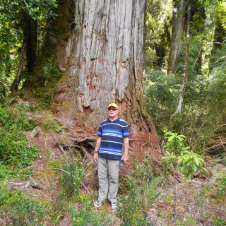 THE GIANT ALERCE TREES IN PUMALIN PARK ARE A MUST SEE
