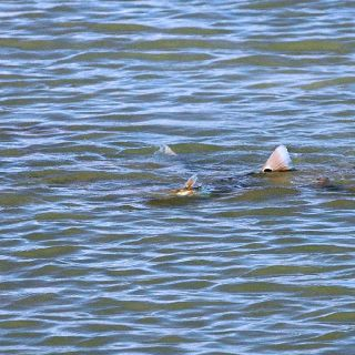 Tailing redfish in Port O'Connor, Texas