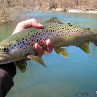 Early Season Brown Trout On Dry Fly