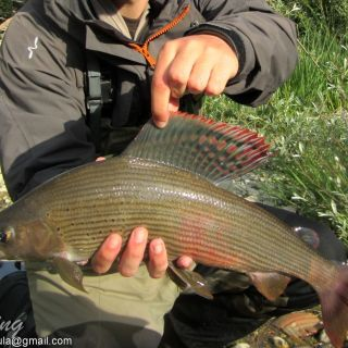 Grayling 50cm Caught by Guest From Italy
