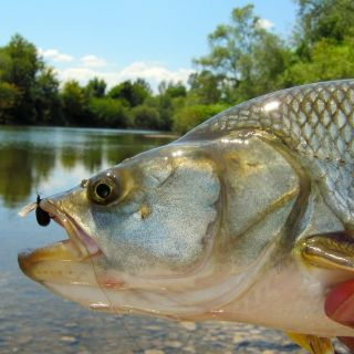 Asp On Dry Fly Serbia