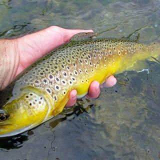 Brownie On Mayfly Bosnia