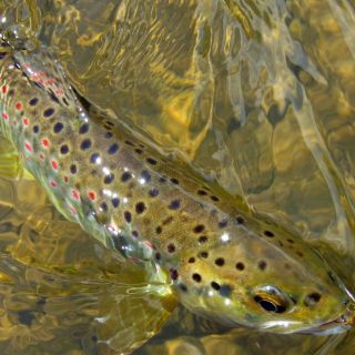 Brown Trout Serbia