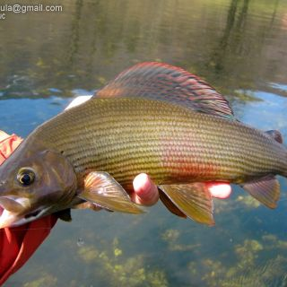 Early Season Grayling On Dry Fly