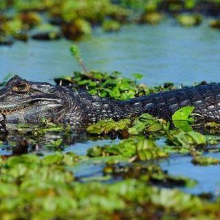 Alligator in the Brazilian Pantanal