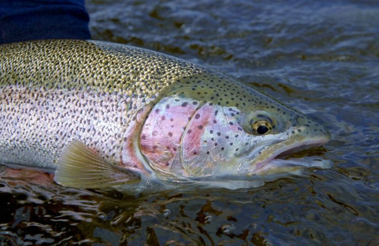 warning this article can cause addiction alaskan rainbow trout