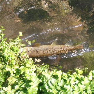 Wild brown trout - 48cm - Nera river - free water stretch