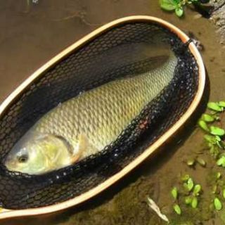 This specimen come from river Treja, a cyprinid water where casting is extremely difficult.
