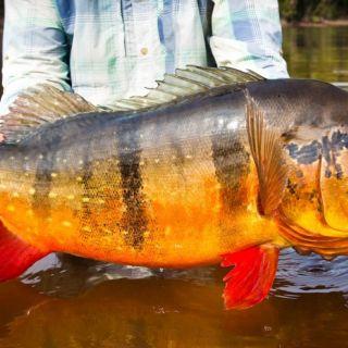 Peacock Bass - Marié  Brazilian Amazon