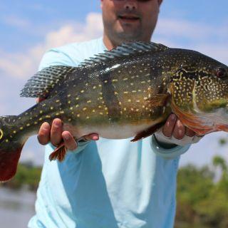 Peacock Bass - Uatumã River Brazilian Amazon