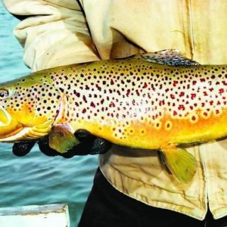 Elk Creek Brown Trout.
