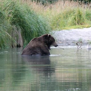 Bears know where to fish