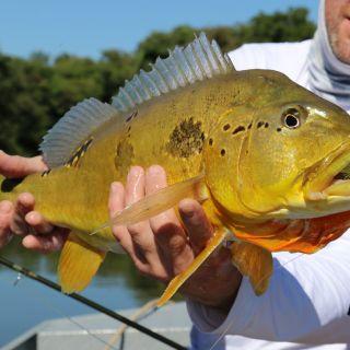 Peacock Bass - Tapajós River Amazon Brazil