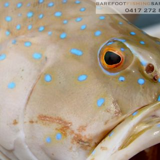coral trout will readily take flys and are so beautiful