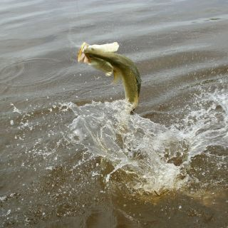 a jumping Barramundi always gets the heart rate going!