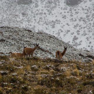 Guanacos y tormenta de nieve en arroyo El Tigre