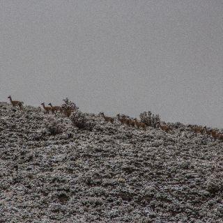 Tormenta de nieve y guanacos. Arroyo el Tigre