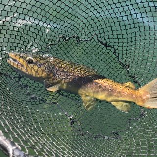 I see a brown trout on my net!