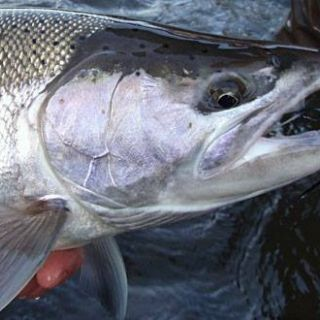 This wild winter steelhead from Oregon's Nehalem River ate a Blu and Purple Rambulance fly.