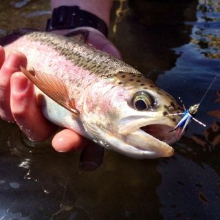 This Oregon native redband trout ate a rubber leg Prince Nymph
