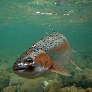 Not a steelhead but did surely fight like one! Rainbow Trout Sava Bohinka river - Slovenia