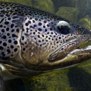 Is this a freshwater specie!? Yes - Cross breed Trout with the stunning skin coloration!