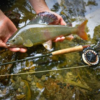 Adriatic river basin Grayling - the best there is if you are a dry fly fanatic!