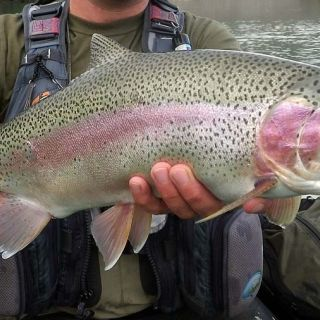 Wild male Rainbow Trout from the Sava Dolinka river - area of Bled town