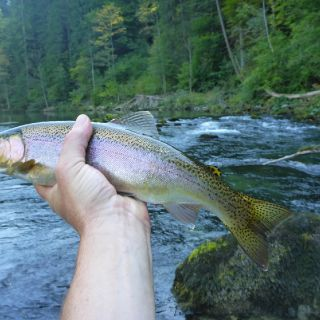 Wild `bow from the canyons of the Sava Bohinjka river, Bled club waters