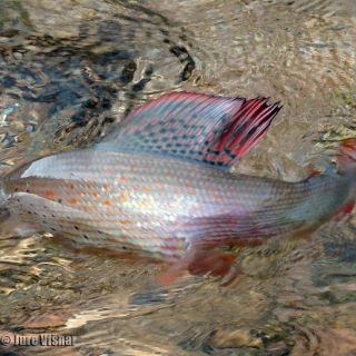 The famous dorsal fin of European Grayling - a flash of colours before he swims back.. ALL our catches are released back!