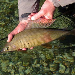 Grayling - Sava Bohinjka river