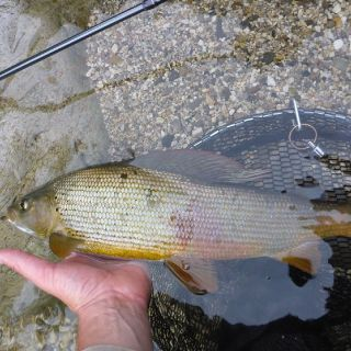 One of his kind - the Grayling! Sava river Slovenia