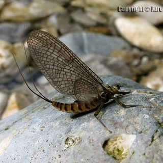 Pure rivers are home of many insects!