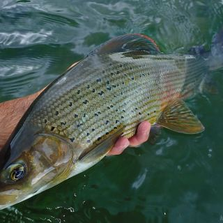 Grayling on Dry Fly, Bosnia