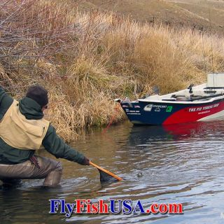 There is great dry fly fishing for native redband trout on Oregon's Deschutes River, year around.
