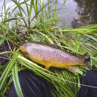 Wild Estonian trout with a beautiful pattern