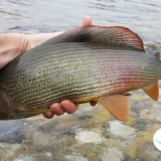 Beautiful feemale Grayling landed in the rapids of the Sava river - Slovenia.. 51cm er she was!