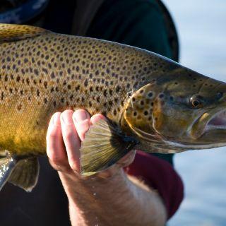 Hook jawed brown